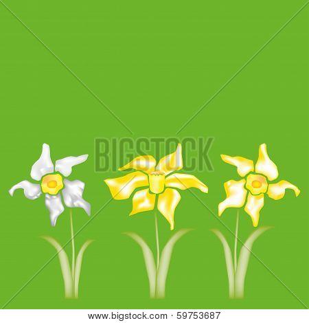 Daffodils, Narcissus