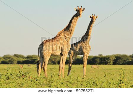 Giraffe Background - Wildlife from Africa - Harmony of Summer