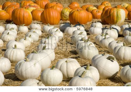 White And Orange Pumpkin Patch