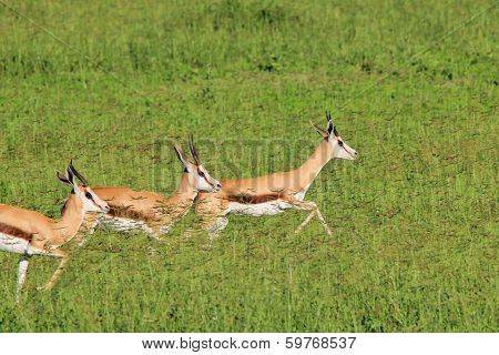 Springbok - Wildlife Background from Africa - Run of Green and Gold