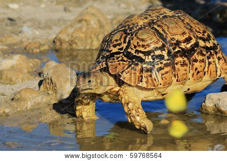 Tortoise - Wildlife Background from Africa - Wet Shell