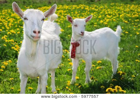 She-goat And Goatling