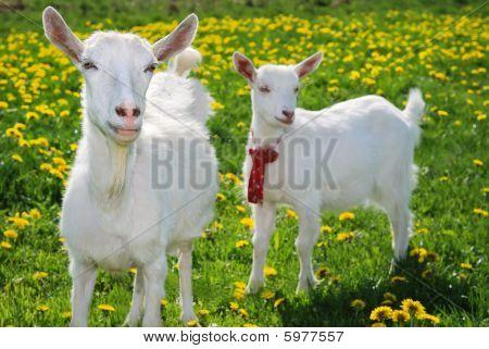 She-goat And Goatling