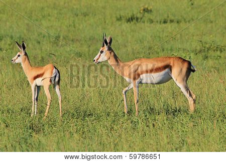 Springbok - Wildlife Background from Africa - Ewe and Lamb of beauty