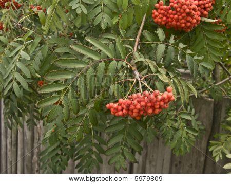 Ash-berry branch