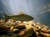 stock photo of fish skin  - a trout swimming at a local nature center - JPG