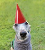 foto of spayed  - a cute dog in a local park with a birthday hat on - JPG