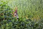 stock photo of bucks  - Buck deer in hiding - JPG