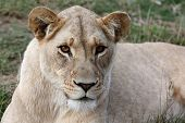 image of lioness  - Potrait of a beautiful lioness with bright amber eyes - JPG