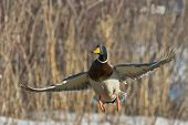 picture of male mallard  - A drake Mallard taking flight on a winter day - JPG