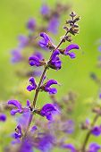 picture of clary  - Close-up fom Meadow Sage in the springtime