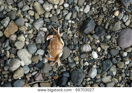Dungeness crab shell