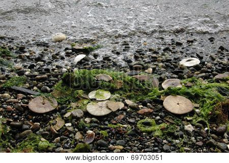 Eccentric sand dollars, Puget Sound, Washington state