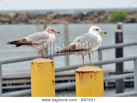 Lake Gulls Perched