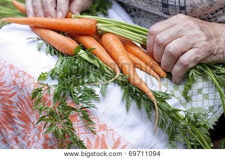 Carrots In Farmers Hands