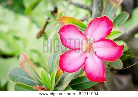 Impala Lily Flowers Blooming On Tree