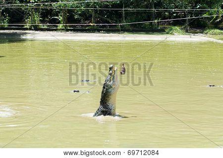 Crocodile Feeding Time