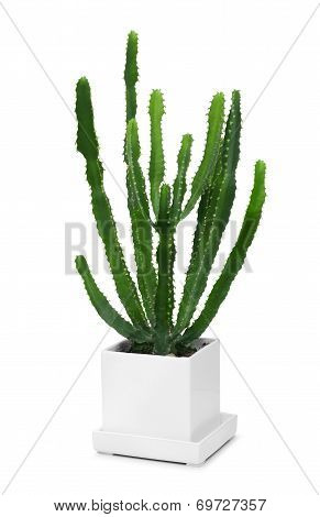 Cactus In Modern White Pot