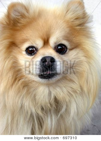 Cautious Pomeranian