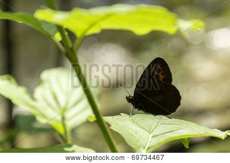 Gatekeeper butterfly under a leaf