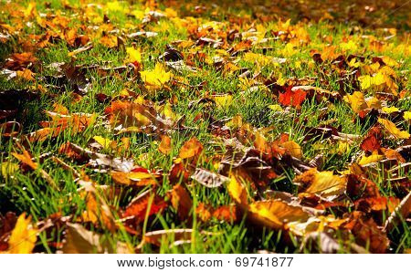 Autumnal Leaves In The Grass