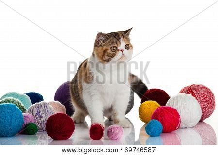 Exotic Shorthair Cat.  Cat With Balls Of Threads.