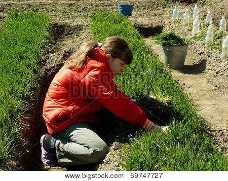 girl thins out green wheat which used as green manure for sowing seeds