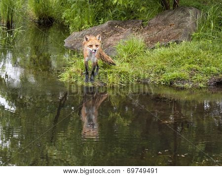 Red Fox with Beautiful Green Background and Reflection
