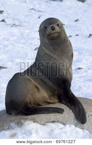Fur Seals Sitting On A Rock On The Beach Antarctic Islands