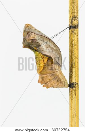 Mature Cocoon Of Common Birdwing Butterfly