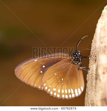 Long Branded Blue Crow (euploea Algea) Butterfly