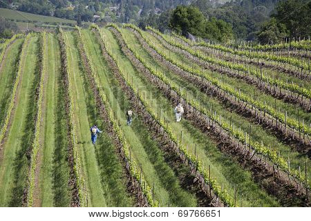 Workers pruning wine grapes in vineyard in Napa Valley