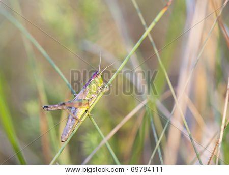 Grasshopper Sit On A Green Plant Straw
