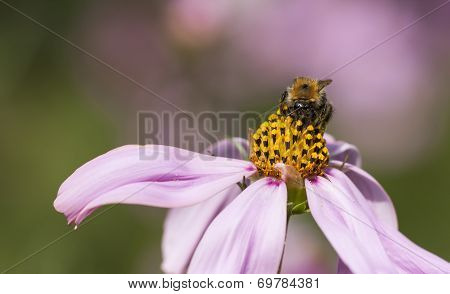 Bee On A Flower Blossom