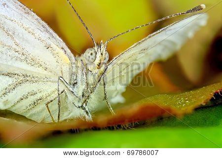 Butterfly Makro