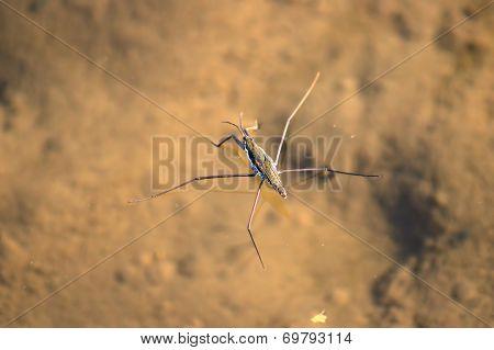 Common Water Strider (Gerris regimis)