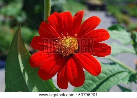 Bright Red Zinnia Face
