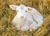 picture of suffolk sheep  - a day old white suffolk sheep lamb