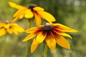 stock photo of black-eyed susans  - Rudbeckia is a plant genus of 23 species in the family Asteraceae - JPG
