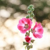 picture of hollyhock  - picture of beautiful hollyhock flower on bokhe background - JPG