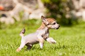 stock photo of spotted dog  - Puppy of Chinese crested dog running a - JPG