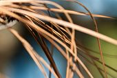 stock photo of pine-needle  - Nature - JPG