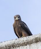 stock photo of ethiopia  - Lanner falcon on the walls of camel meat butchery in walled city of Jugol - JPG