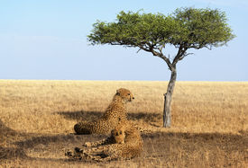 stock photo of wallow  - Two adult cheetahs resting in shadow after succcessfull hunting Masai Mara National Reserve Kenya East Africa - JPG