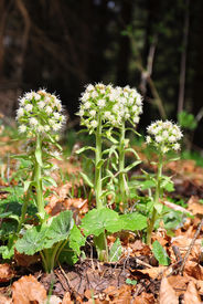 picture of butterbur  - Colorful and crisp image of white butterbur  - JPG