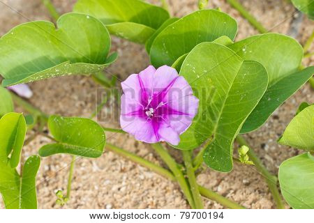 Goat's Foot Creeper Or Beach Morning Glory.