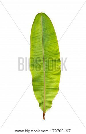 Green Banana Leaf Isolated On White.
