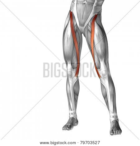 Concept or conceptual 3D human legs or sartorius anatomy or anatomical and muscle isolated on white background.