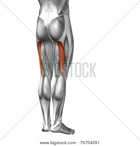 Concept or conceptual 3D human legs or biceps femoris anatomy or anatomical and muscle isolated on white background.