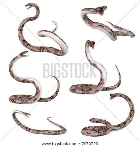 Snake-Reticulated Python
